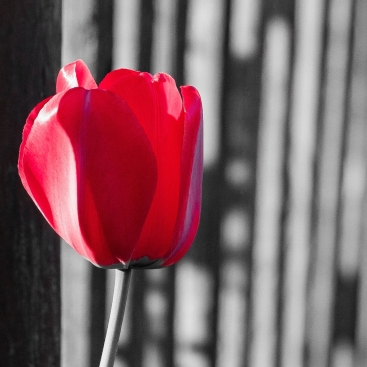 cropped-tulpe